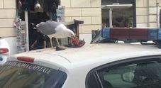 Il gabbiano divora un piccione sul tetto dell'auto dei vigili: scena horror ai Fori Imperiali