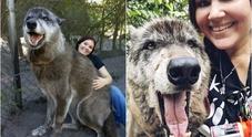 """La ragazza e il """"lupo gigante"""", cosa si nasconde dietro il video diventato virale"""