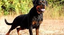 Aggredita da un rottweiler: è in coma farmacologico