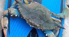 Dopo il pesce pappagallo, il granchio azzurro: allarme sulle spiagge salentine
