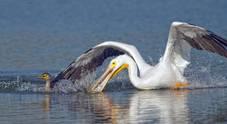 Il cormorano derubato al volo del pranzo da un pellicano:...