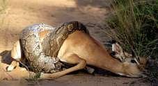 Il pitone avvinghia l'impala. E in Madagascar spunta un...