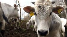 Mucca pazza, morta donna a Ravenna: il morbo scambiato per polmonite, indagati medici e infermieri