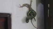 Il serpente stritola il geco, il compagno lo salva in extremis