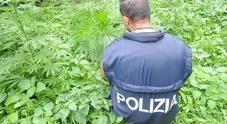 """Piantagione di marijuana in mezzo al bosco sul Carso: caccia al """"coltivatore"""""""