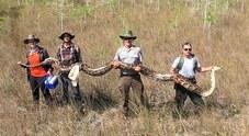 Ricercatori catturano un pitone femmina gigante che incubava 73 uova