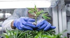 Cannabis light, lo stop della Cassazione: «La legge non consente la vendita»