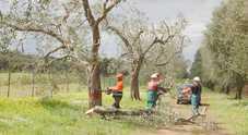 Xylella, l'Europa salva gli ulivi del basso Salento. Adottata la linea dura solo per Oria: abbattimenti nel raggio di cento metri dalle piante infette