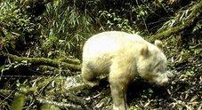 Avvistato un panda albino: evento rarissimo a 2000 metri d'altezza