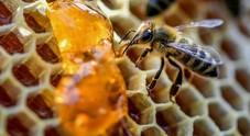 Nel miele di corbezzolo una possibile arma contro il tumore del colon