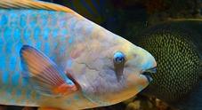 Battuta di pesca con sorpresa: dalla rete spunta un pesce pappagallo