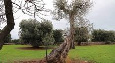 """Sequestrato l'ulivo infetto. I """"gilet aracioni"""": esposto dei santoni, la Procura di Bari commette lo stesso errore dei giudici leccesi"""
