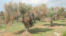 Xylella, la Francia impone lo stop alle importazioni dalla Puglia. Martina: ci difenderemo