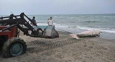 Ostia, cucciolo di capodoglio trovato morto in spiaggia