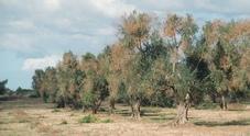 Xylella, tempo scaduto: tagli a spese degli olivicoltori