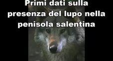 Sorpresa: dopo un secolo tornano i lupi nel Salento