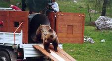 La triste fine dell'orsa Daniza, uccisa con il sonnifero: l'ultimo articolo scritto da Folco Quilici per il Messaggero