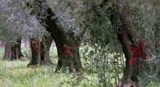Xylella, via alle prescrizioni per i tagli nei campi di Brindisi e Taranto