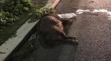 Paura su via di Grottarossa, auto si schianta contro un cinghiale