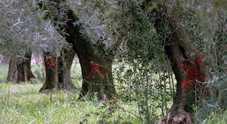 Xylella: il Tar di Lecce si dichiara incompetente. A decidere saranno i giudici di Roma. Ricorrenti soddisfatti