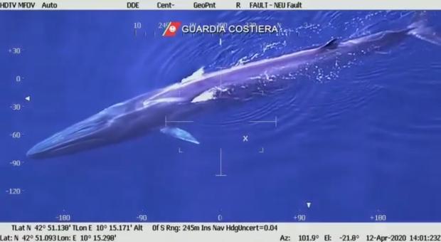 La balenottera lunga 20 metri filmata all'Elba dalla Guardia Costiera.