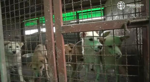 Alcuni dei 170 esemplari scoperti in un allevamento di cani da macello in Corea del Sud. (immagini e video pubbl da Humane Society International su Fb)