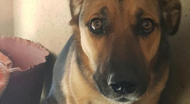 Abbandonata dopo l adozione: Stella torna di nuovo in gabbia
