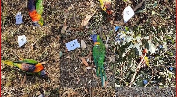 Virus uccide migliaia di pappagalli in Australia, i veterinari: «Smettete di alimentarli»