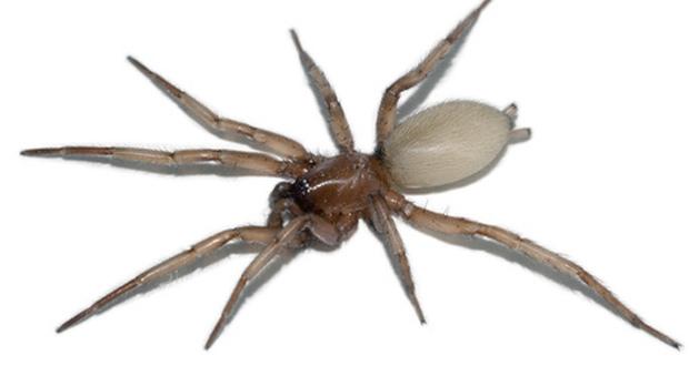 Cos'è il ragno violino, vive in Italia ed è velenoso