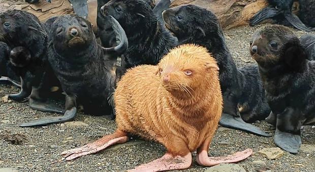 Rarissimo cucciolo di otaria con la pelliccia rossa: emarginato dalla colonia, ora rischia di morire