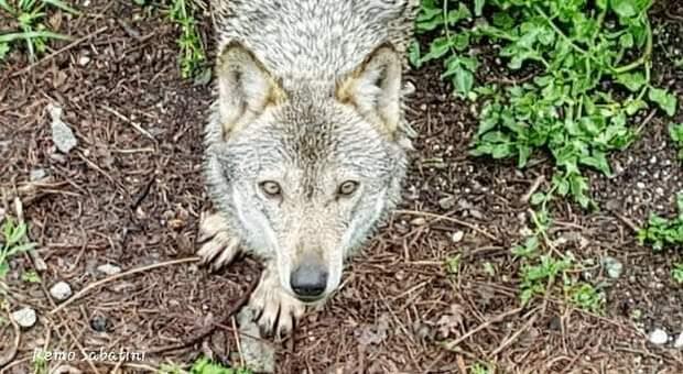 Un lupo italiano selvaggio (immag repertorio Remo Sabatini)