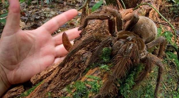 Il ragno gigante trovato nel bosco di Cerano