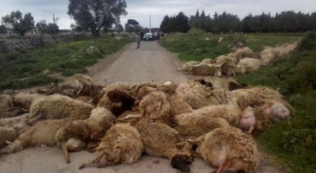 La strage delle pecore (foto Maurizio Buttazzo)