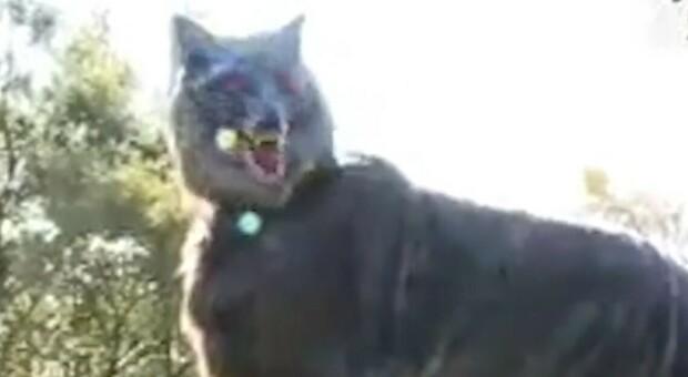 Allarme orsi, il paese che ricorre ai lupi robot per tenerli lontani dal centro abitato