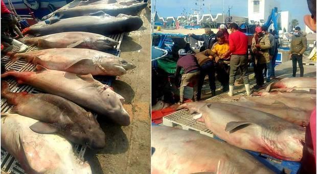 Alcune delle decine di grossi squali catturati dai pescatori in Tunisia (immagini pubblicate dal sito di informazione Tuniplus su Fb)