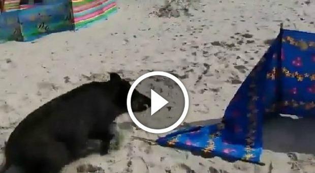 Cinghiali in spiaggia