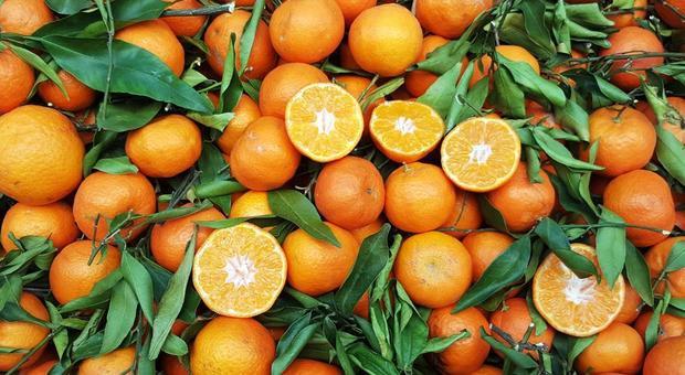 Arance tunisine contaminate dalla macchia nera, allarme per 162mila chili di agrumi