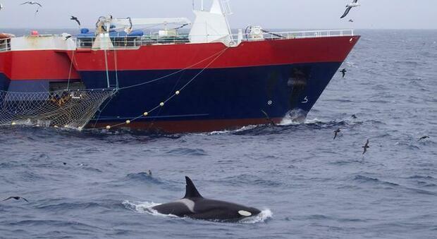 La Spagna mette al bando le piccole barche: «Ci sono le orche, rischio incidenti»