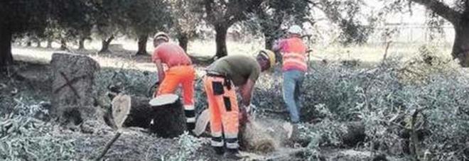 Abbattuti 27 ulivi colpiti da xylella: previsti altri 650 tagli