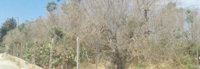 Xylella, il gip convalida il sequestro degli ulivi