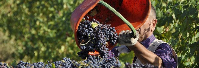 Vendemmia, la regina è la Puglia: prima regione nella produzione del vino