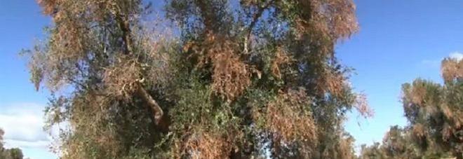 La batteriosi che ha colpito gli ulivi