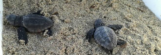 Campomarino, nate nel parco Wwf sette piccole tartarughe