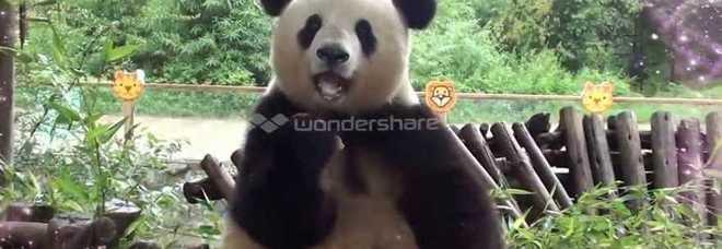 Il panda Si Jia è triste, lo zoo diventa un parco giochi