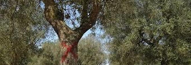 Xylella, altri 134 ulivi infetti: colpiti due comuni tarantini