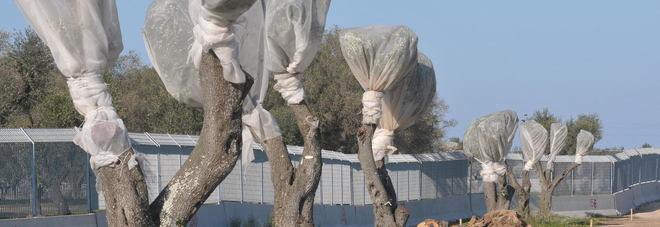 Il Tar ha deciso: respinto il ricorso della Regione, Tap può espiantare gli ulivi