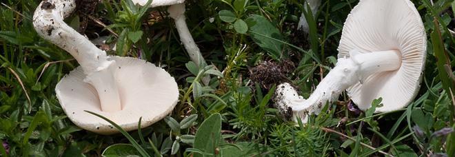 Trova i funghi nel giardino e ne regala anche agli amici: intossicati in cinque, uno è grave