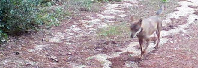 """Ecco i lupi nel Parco delle Gravine immortalati dalle """"fototrappole"""""""