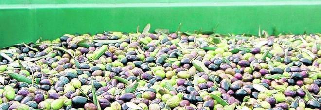 Rubano due quintali di olive doc: in cinque inseguiti e arrestati