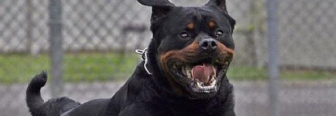 Azzannata dal rottweiler: muore dopo quattro giorni